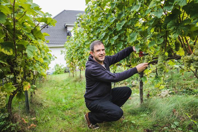 Lode Debruyne bij zijn wijnranken in zijn  tuin in Sint-Denijs-Westrem