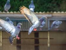 'Soraya' van Houmes laat ruim tienduizend duiven achter zich
