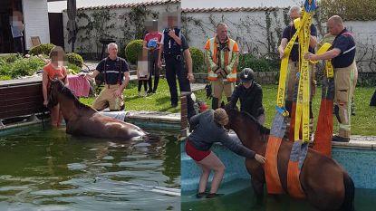 """""""We konden onze ogen niet geloven"""": bewoners treffen bij thuiskomst paard aan in hun zwembad"""