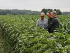 Lochems zonnebloemenlint voor boer, bij en burger