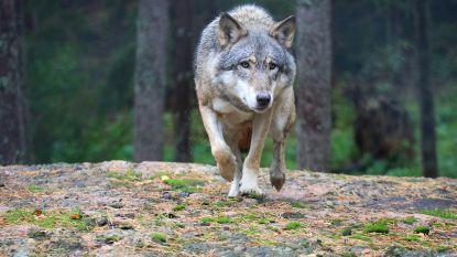 Meer dan 1.000 wolven in Duitsland tegen jaareinde
