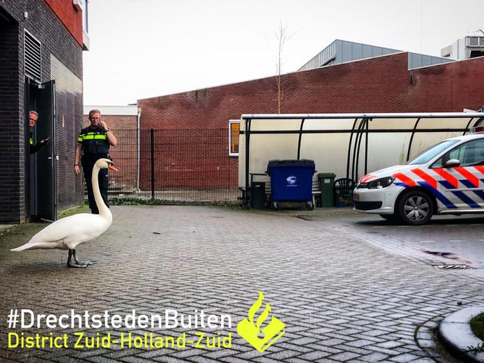 De zwaan vertoeft nog even op het politiebureau totdat de dierenambulance hem ophaalt.