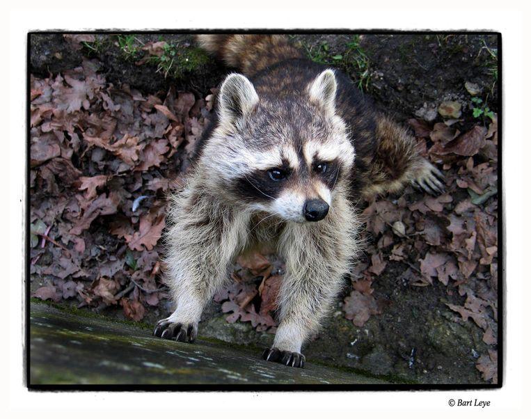 Een wasbeer in Planckendael. In Duitsland leven de diertjes in het wild, maar bij ons niet.