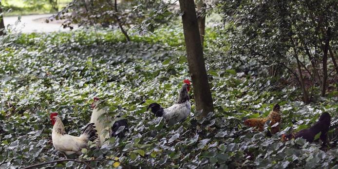 Niet alleen hangjongeren zorgen voor overlast in het Processiepark. De grote hoeveelheid ronddwarrelende kippen zijn weer een ander probleem. De dieren vernielen het groen. foto GERARD VAN OFFEREN/pix4profs