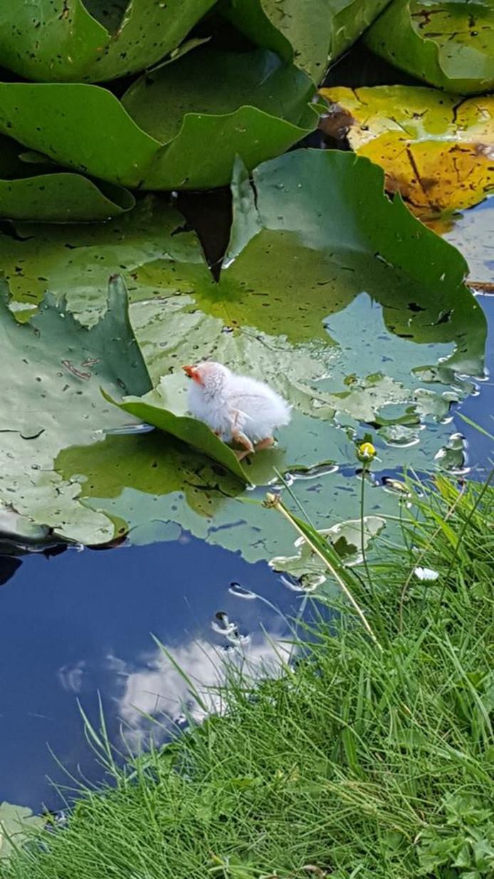 Stichting Centrum voor Dierenhulpverlening redt een zeldzame albino waterhoen