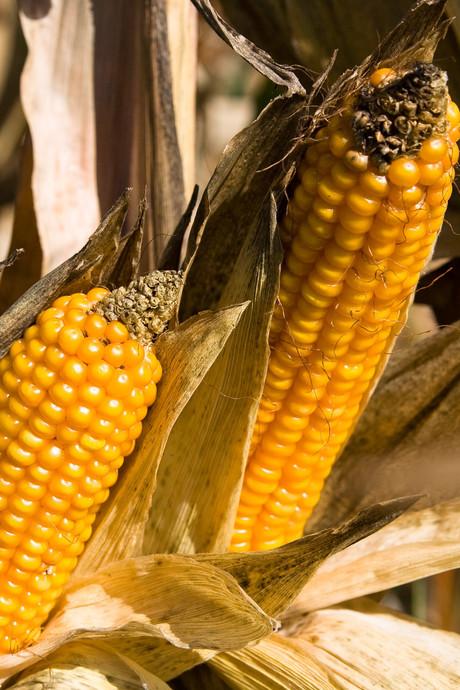 Drama voor boer Jan: storm legt 30 hectare mais plat