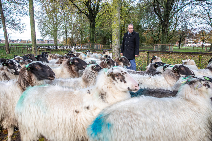 De Zwolse schapen gaan weer naar hun winterverblijf. Wethouder William Dogger was er namens de gemeente bij om te kijken of alles goed ging.
