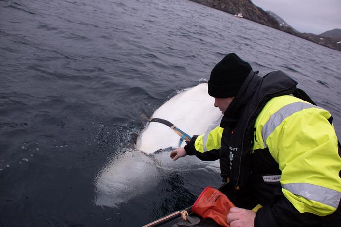 Biologen van de Marine Dienst van Visserij hebben inmiddels het harnas van de witte dolfijn verwijderd.