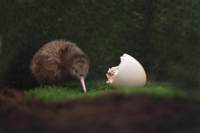 De kiwi uit z'n ei.