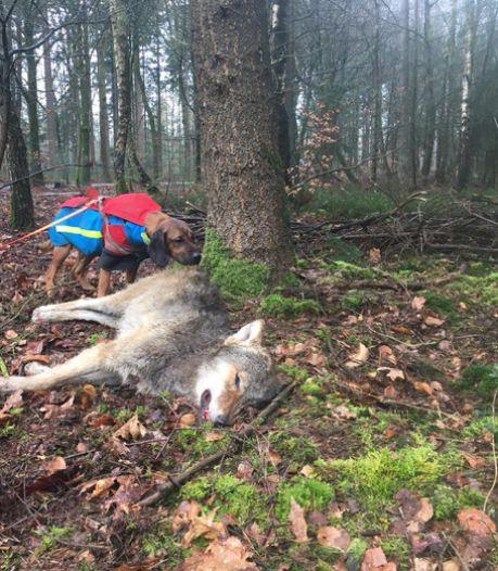 Bij Epe doodgereden jonge wolf had voornamelijk edelhert gegeten