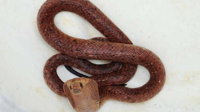 De ontsnapte cobra in Made nadat hij gevangen is door de eigenaar.
