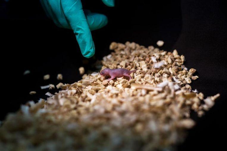 Een pasgeboren muizenjong van twee vaders en geen moeder. Het dier stierf binnen de 48 uur.