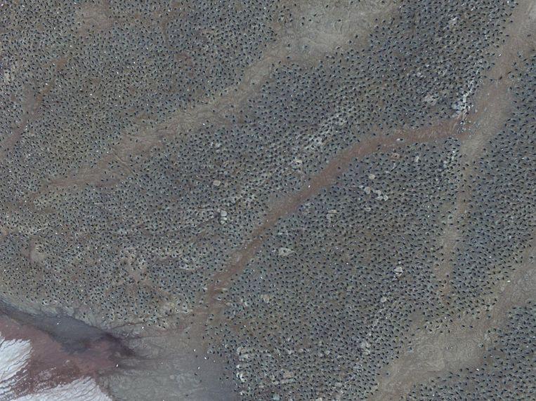 Luchtopnamen laten zien hoe groot de kolonie adeliepinguïns zijn. Beeld Woods Hole Oceanographic Institution