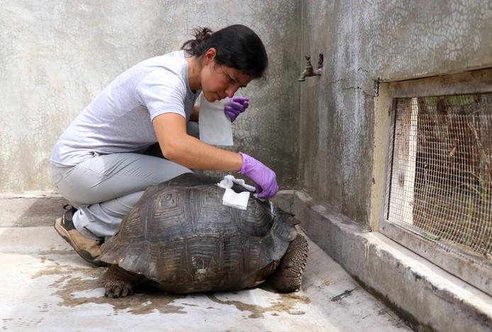 De schildpad wordt verzorgd door medewerkers van het Parque Nacional Galápagos.