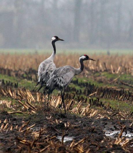 Boeren en jagers niet aan banden door kraanvogels Engbertsdijksvenen