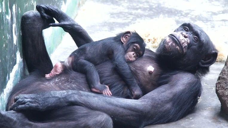 Deze chimpansee is drie maanden oud en houdt van knuffelen met zijn moeder.