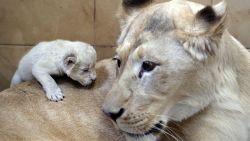 Drie witte leeuwenwelpjes op verkenning in Poolse zoo