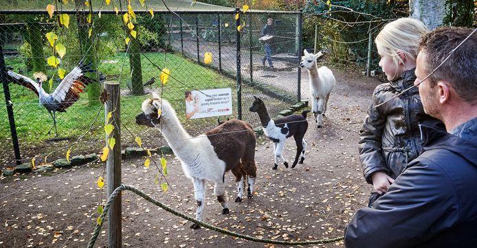 Zie-Zoo in Volkel  is weer open. De alpaca's met kroost kuieren rond.