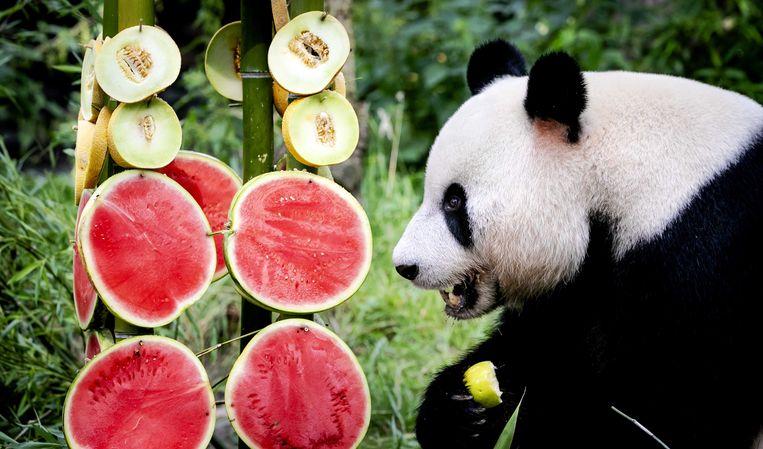 Reuzenpanda Xing Ya vierde 8 augustus zijn 6e verjaardag in Ouwehands Dierenpark. Beeld EPA