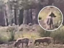Hoe de wolf terugkeerde naar Oost-Nederland