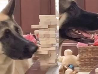 Baasje ontdekt ongelooflijk talent: hond kan Jenga spelen als de beste