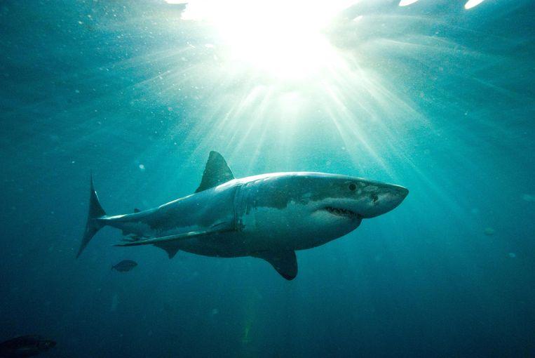 Ook de witte haai is een vaak geziene gast in Australische wateren. Beeld anp