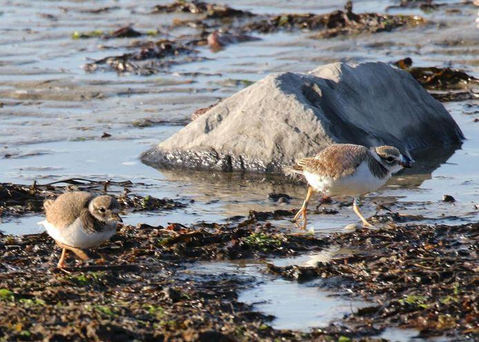 Twee van de drie jonge bontbekplevieren die een kleine maand geleden werden geboren op het strandje van Kattendijke.