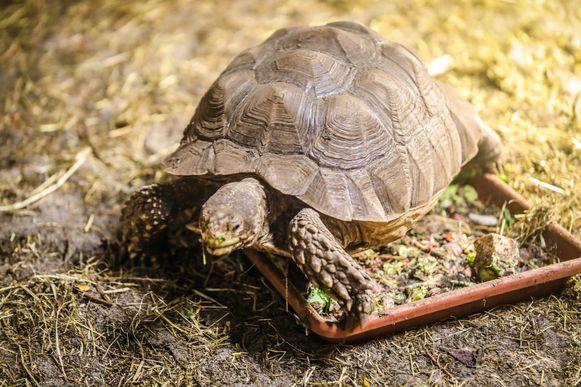 Een sporenlandschildpad.