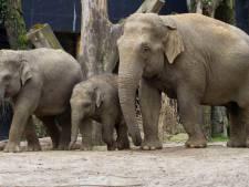 Olifantje Kyan verruilt Dierenpark Amersfoort voor Hongarije