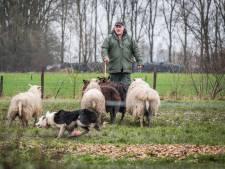 Stormachtig schapen drijven in Heteren en Renkum