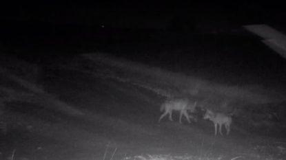 Een week goed nieuws: wolven August en Noëlla zijn een koppel en andere verhalen die je blij maken