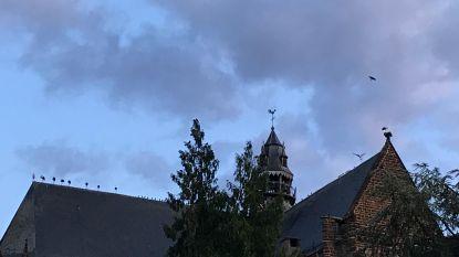 Tiental ooievaars houdt even halt in Diest