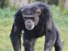 Chimpansee Dirk (37) overleden door vechtpartij Dierenrijk: 'We hoorden zó'n hard geschreeuw'