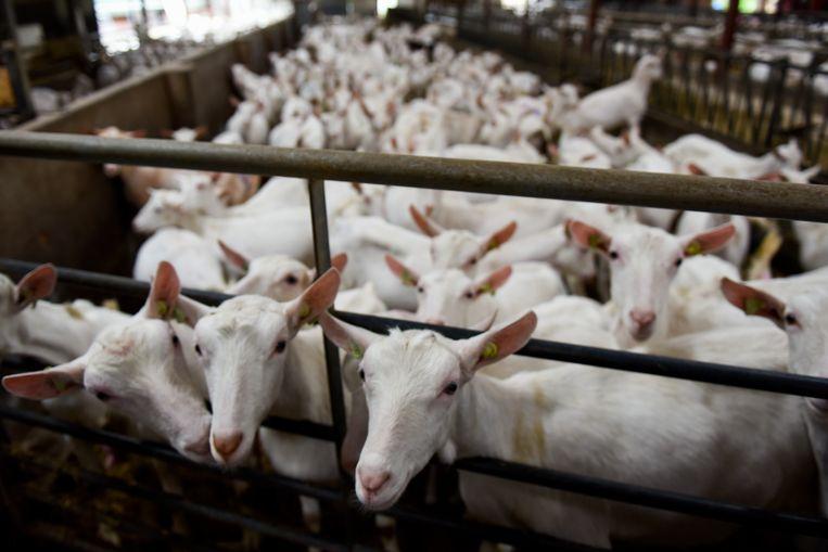 Geiten op het bedrijf van Jeannette van de Ven, voorzitter van de LTO-vakgroep geitenmelkhouderij. Zij heeft samen met man jan een eigen bedrijf met 1600 geiten in Oirschot. Beeld Carl Mureau