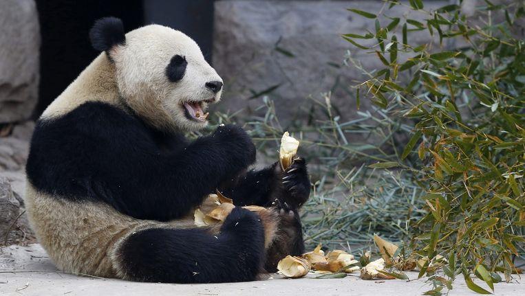 Kunnen panda's echt een zwangerschap simuleren omwille van een voorkeursbehandeling? Beeld epa