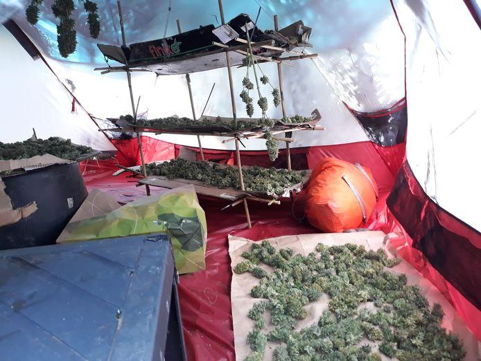 Er stond ook een tent waarin de henneptoppen geknipt werden.