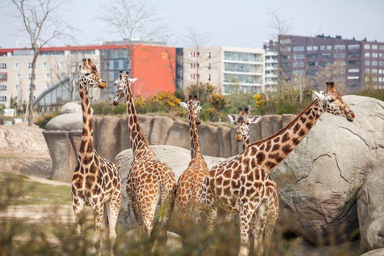 Giraffen in Dierenpark Emmen. Beeld null