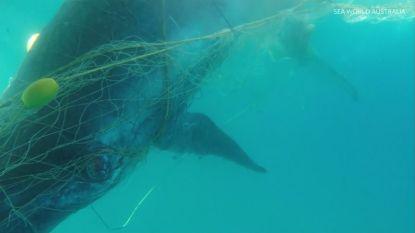 VIDEO. Walvisjong gered uit haaiennetten