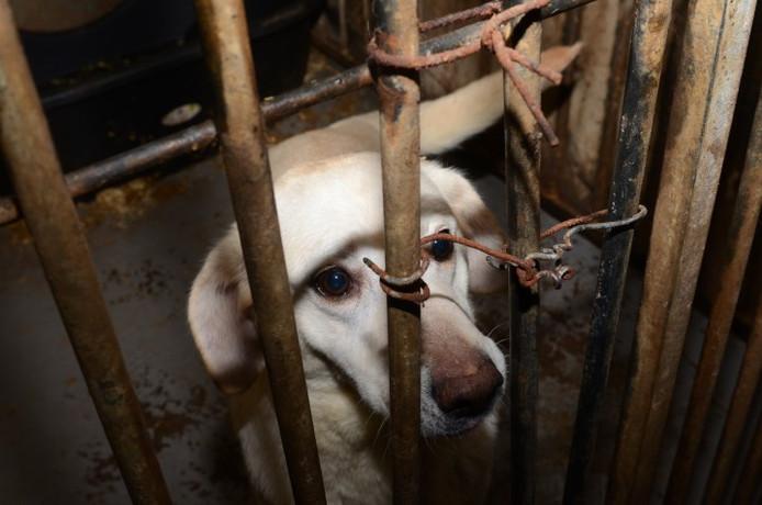 Eén van de honden die in beslag werden genomen bij de hondenfokker in Lettele.