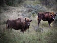 Eerste wilde bizon na 250 jaar weer in Duitsland, autoriteiten schieten beest af