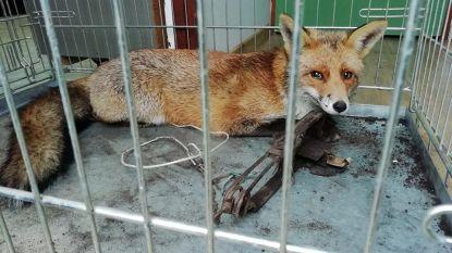 Brandweer Turnhout redt vos uit illegale klem