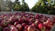 25.000 ton fruit vernietigd, terwijl Voedselbanken slechts peulschil krijgen