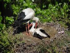 Vogelkenners zien paartjes vaker nestelen in bomen