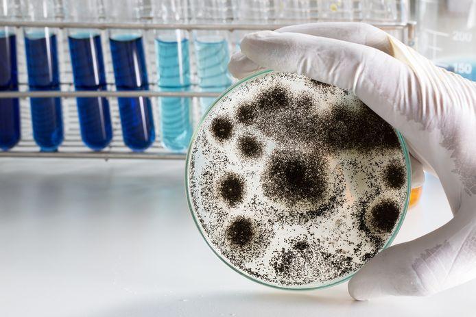 Aspergillus (schimmel) voor microbiologie in het lab.