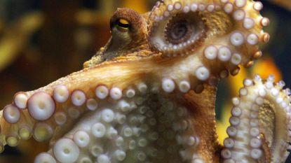 Wetenschappers sluiten niet uit dat octopussen eigenlijk aliens zijn