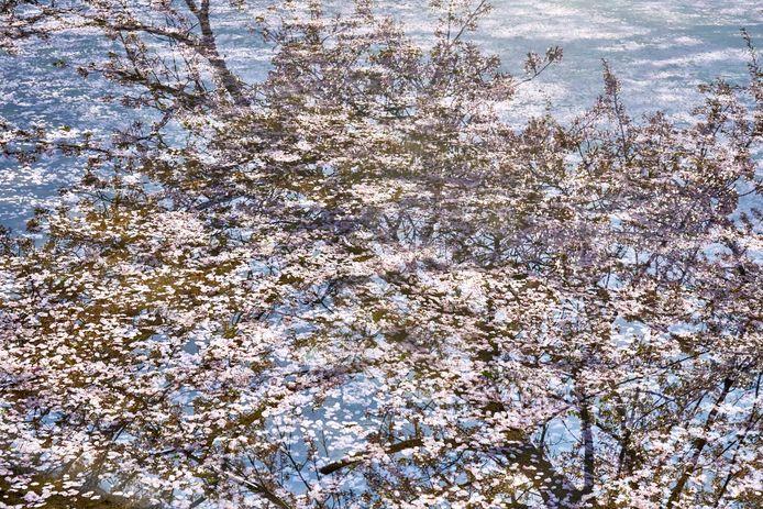 'Sakura on sakura # 2'.