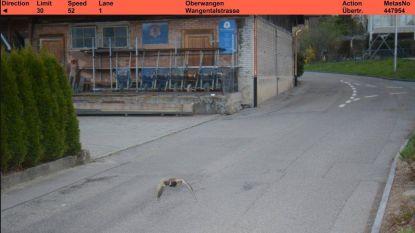 Eend geflitst in Zwitserland, en het gaat nog om een recidivist ook