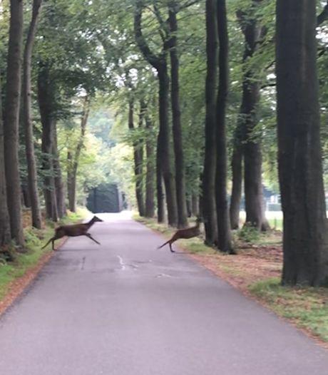 Marvins filmpje van hert dat zich op de Veluwe te pletter loopt al honderdduizenden keren bekeken