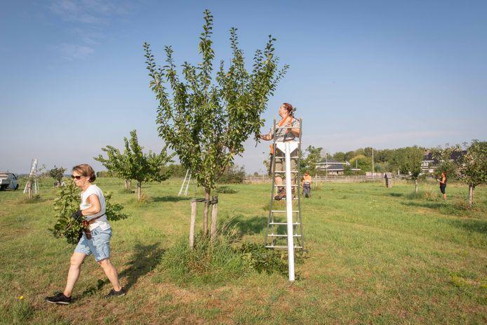Een groep vrijwilligers geeft de dorpsboomgaard 't Of van Yese een beurt. Marrie de Munck, Gwendal Uytdewilligen, Brandon de Vries en Rijo Meulbroek zijn druk met snoeien van de fruitboompjes.