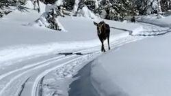 Toeristen moeten plankgas geven om te ontsnappen aan eland